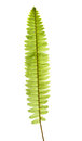 Fern branch isolated on white Royalty Free Stock Photo