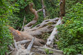Fern Canyon with fallen redwood Royalty Free Stock Photo