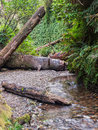 Fern canyon with stream vertical walls of covered ferns clear flowing over stones and logs at in redwoods national Royalty Free Stock Photos