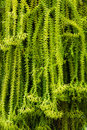 Fern closeup nature huperzia for background Royalty Free Stock Images