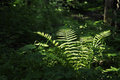 Fern in a dark forest Royalty Free Stock Photo