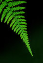 Fern detail tip of a leaf isolated over a blurred dark background Royalty Free Stock Image