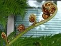fern fiddleheads