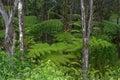 Fern forest Mauna Kea Hawaii Stock Image