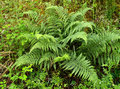 Fern fresh in the countryside italy Royalty Free Stock Image
