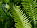 Fern fronds growing in summer Royalty Free Stock Images
