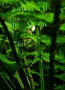 Fern frondulet Royalty Free Stock Photos