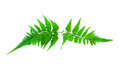 Fern isolated on white background Royalty Free Stock Images