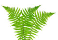 Fern isolated on white background Royalty Free Stock Photos