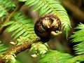 Fern koru Royalty Free Stock Image