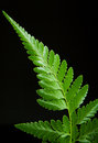 Fern leaf black background Royalty Free Stock Images