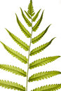 Fern leaf close up on white Royalty Free Stock Image