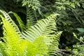 Fern leaf closeup Royalty Free Stock Photo