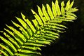 Fern the leaf of a is illuminated by sunshine Royalty Free Stock Images