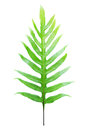 Fern leaf isolated Royalty Free Stock Photo