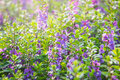 Fern leaf lavenders,violet lavender flowers blooming in the fiel Royalty Free Stock Photo