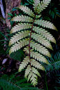 Fern leaf a is a member of a group of about known extant species of vascular plants that reproduce via spores and have neither Stock Photo
