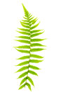 Fern leaf single isolated on white background Stock Photography