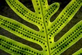 Extreme close-up of fern leaf with spores Royalty Free Stock Photo