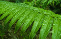 Fern leaf with water drops in the jungle cameron highlands malaysia Royalty Free Stock Photos