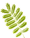 Fern leaves isolated Stock Photography