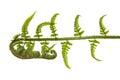 Fern leaves isolated on white background Stock Photo