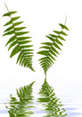 Fern Leaves Over Water Royalty Free Stock Photography