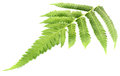 Fern leaves over white background Royalty Free Stock Photo