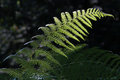 A fern in a light ray of the deep of forest Royalty Free Stock Images