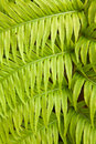 Fern natural background of green leaves Royalty Free Stock Photography