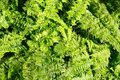 Fern Nephrolepis Royalty Free Stock Photo