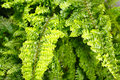 Fern Nephrolepis Royalty Free Stock Images