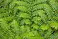 Fern new frond of australian tree Stock Photos