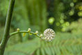 Fern new frond in nature Royalty Free Stock Photos