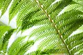 Fern Plant Royalty Free Stock Images