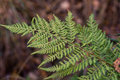 Fern Royalty Free Stock Photo