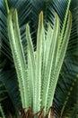 Fern-Sago palm-Tender leaves Royalty Free Stock Photo