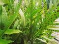 Fern spore. Royalty Free Stock Photo
