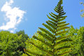 Fern with spore Royalty Free Stock Photo