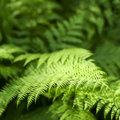 Fern summer time close up of leaves dof Royalty Free Stock Image