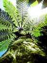 Fern Tree In The Sky Royalty Free Stock Photo