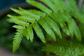 Ferns. Royalty Free Stock Photography