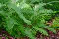 Ferns along the edge of a woodland in sneads ferry nc Stock Image