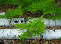 Ferns by birch trees Royalty Free Stock Images