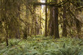Ferns and forest olympic national park old growth Stock Photos