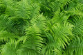 Ferns in the Garden. Royalty Free Stock Photo
