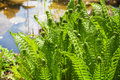 Ferns growing on pond garden Stock Image