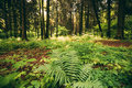 Ferns Leaves Green Foliage In Summer Coniferous Forest. Green Fern Bushes In Park Between Woods, Royalty Free Stock Photo