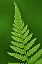 Ferns newly unfurled spring fern leaves in chapel hill north carolina Royalty Free Stock Photo