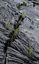 Ferns taking over lava flow Stock Photography